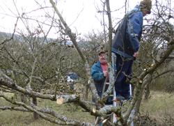 Obstgehölze Baumschnitt Kurs